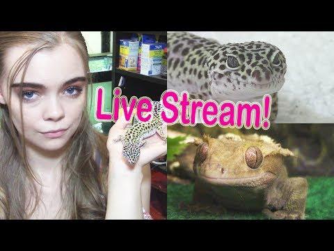 Gecko talk (Let's talk about geckos!) -Pet Adventures Live Stream