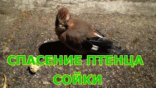 Спасение птенца сойки | Что делать если птенец выпал из гнезда?