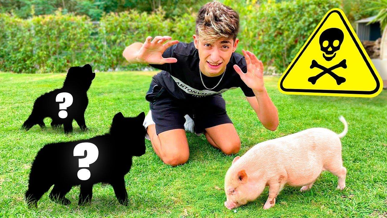 ENFRENTO A MI MINI PIG CON ESTOS 2 ANIMALES Y SE ATACAN!