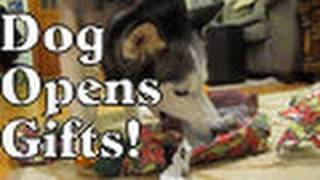 Shiloh And Shelby Open Their Christmas Gifts! Siberian Husky Dog Opens Presents