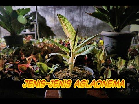 Jenis jenis Aglonema / kind of aglaonema