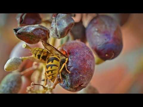 КАК ЗАЩИТИТЬ ВИНОГРАД ОТ ОС | выращивание | виноградом | винограда | посадить | виноград | посадка | сажать | защита | уход | осы