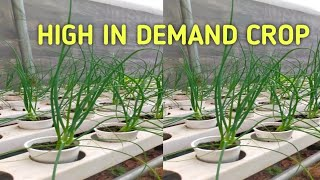 How to Plant SPRING ONION in Hydroponics / HIGH DEMAND