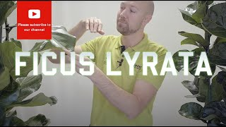 All you need to know about Ficus Lyrata - Fiddle Leaf Fig