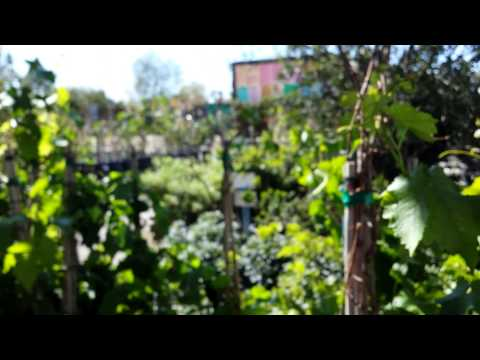 The Desert Wine Guy - Grape Vines at Local Nursery In Las vegas