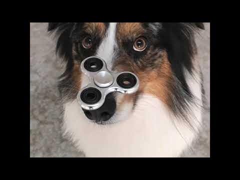 Dog Has Mastered the Fidget Spinner || ViralHog
