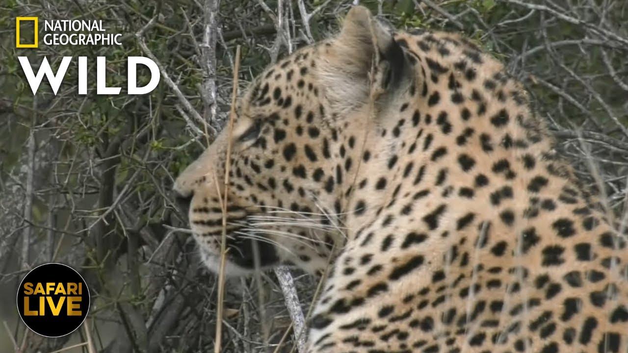 Safari Live - Day 378 | Nat Geo Wild