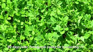 This video is about planting, growing Fenugreek or methi seeds.