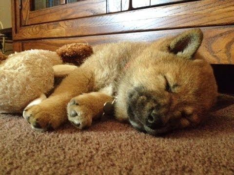 Cute Shiba Inu Puppy - 6 Weeks Old