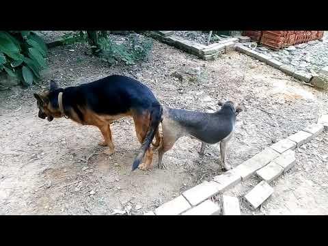 Chó becgie lai pitbunl
