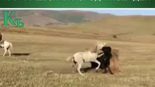 Карачаевская порода лошадей.