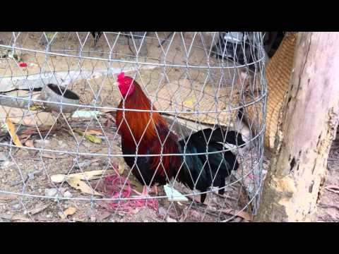 clip trại gà tre mỹ,asil,peru tại Đồng Nai