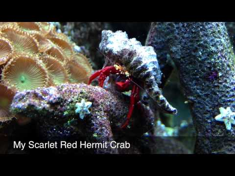 My Scarlet Red Hermit Crab