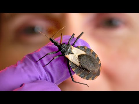 What Are Kissing Bugs? And Why Are They Deadly?