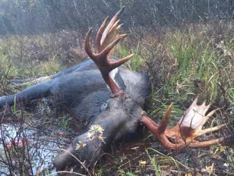 Chinchaga  338 caliber 300 gr bullet vs moose 2016