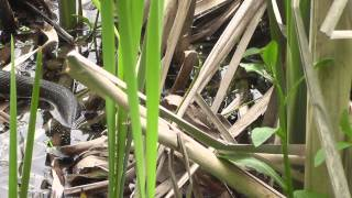 Užovka obojková - Natrix natrix