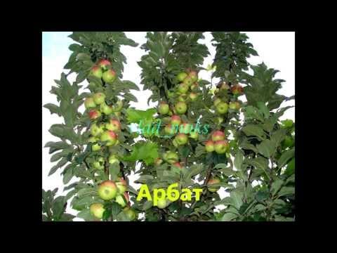 1. Сорта яблок