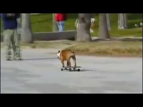 Английский бульдог на скейте