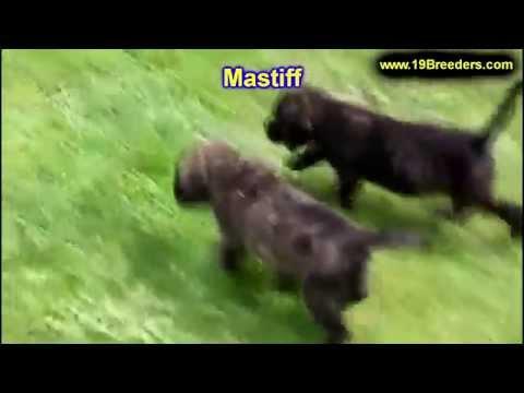 Mastiff, Puppies, Puppies, For, Sale, In, East Honolulu, Hawaii, HI, Makaha, Pukalani, Haiku Pauwela