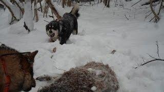 Hunting for wild boar. Охота на кабана.три собаки против  кабана.