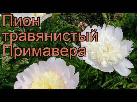 Пион травянистый Примавера (paeonia) 🌿 пион Примавера обзор: как сажать рассада пиона Примавера