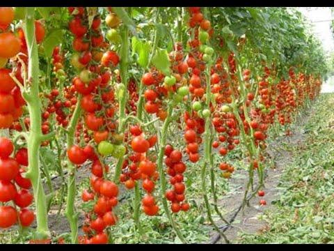 Посадка помидоров в теплице расстояние