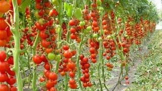 5 правил выращивание помидоров в теплице, как вырастить томаты дома(Для получения хорошего урожая помидоров в домашней теплице (дополнительно http://pilotbiz.ru/tomaty/ )- нужно помнить..., 2015-09-12T20:46:58.000Z)