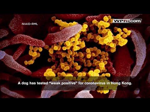 "VIDEO NOW: Dog In Hong Kong Tested ""weak Positive"" For Coronavirus"