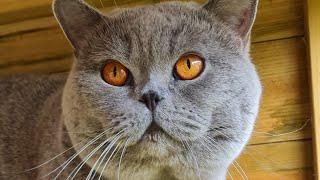 Can British Shorthair Cats Jump?