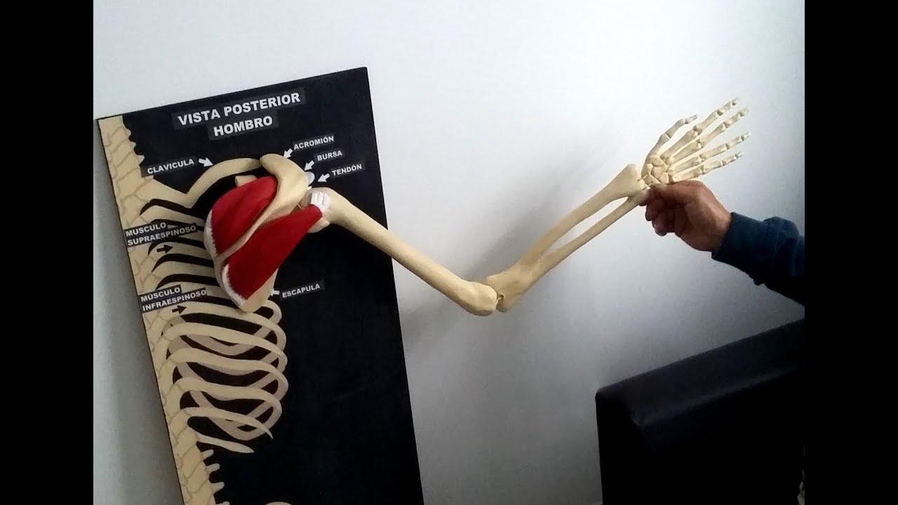 Modelo anatómico del hombro con articulación, huesos y músculos ...