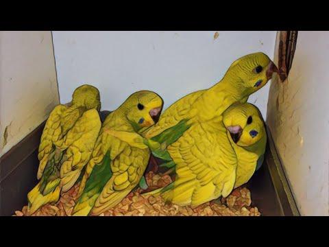 Yeşil Spangle Yavrularımız,Yuvadan Atlamaya Az Kaldı / Muhabbet Kuşlarımız 2017 Sezon 2.Hobi Üretimi