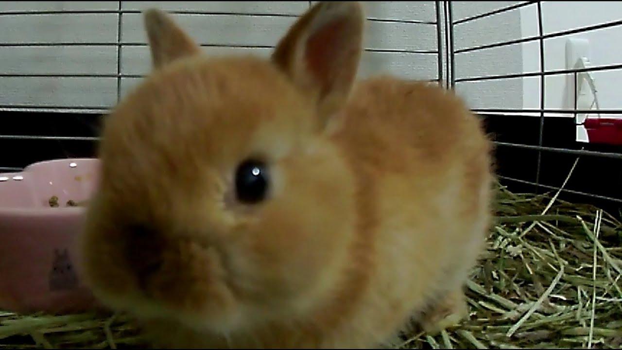 Baby Bunny looks like Happy・Cute Baby Netherland Dwarf ...