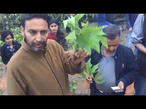 Civil society starts 'Save Chinar' campaign against chopping of Chinars