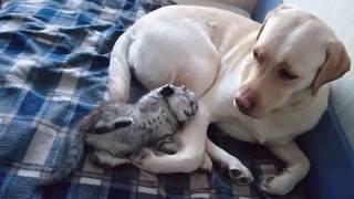 Котёнок играет с собакой породы лабрадор