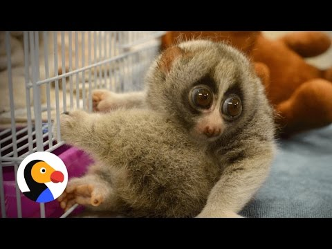 Slow Lorises HATE to be Tickled & Why They Should Never Be Pets | The Dodo