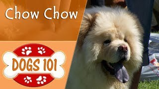 Dogs 101  CHOW CHOW  Top Dog Facts About the CHOW CHOW