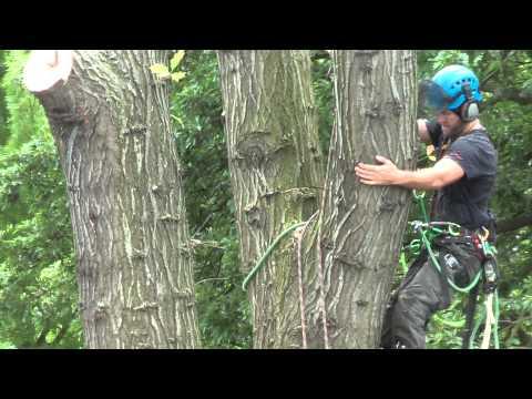 Oak tree carefully dismantled