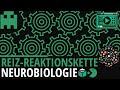 Reiz-Reaktionskette einfach erklärt│Biologie Lernvideo [Learning Level Up]