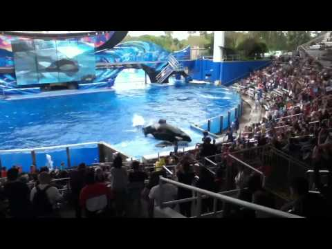 killer-whale-falls-out-of-tank-at-seaworld