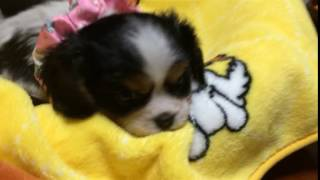 http://life-with-dog.net/kantou/kyabaria_kantou.html ライフウィズド...
