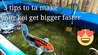 how to make your koi's and Goldfish get big and healthy