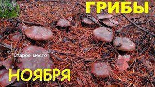 Грибы.Что растёт в лесу в ноябре