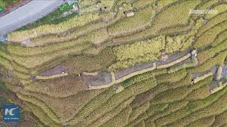 Chinese farmers celebrate harvest at terraced fields in Guilin