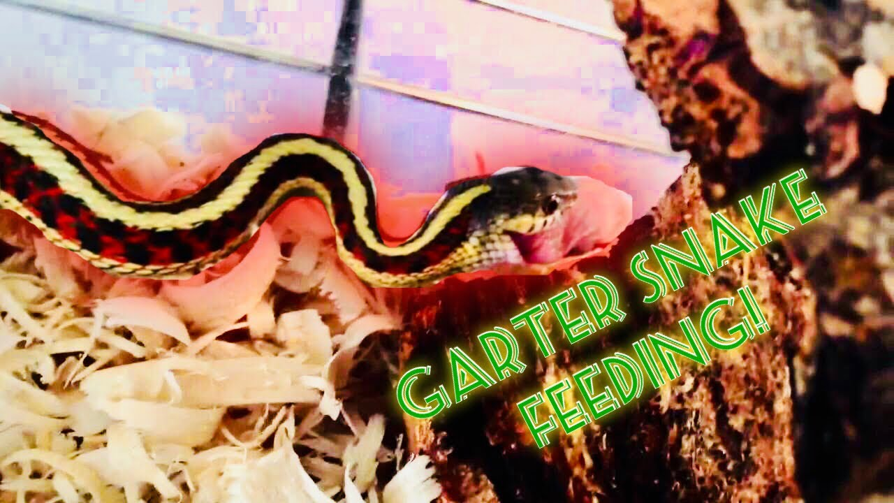Garter Snake Feeding Video Youtube