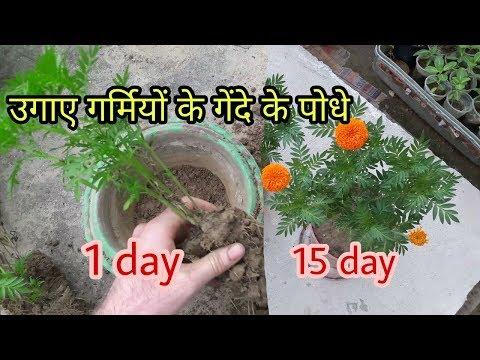 लगाए गर्मियों में गेंदे का पौधा और पाए फूल ही फूल। how to grow summer marigold plant easily