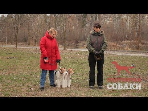 Охотничьи собаки. 16 серия. Жесткошёрстный фокстерьер
