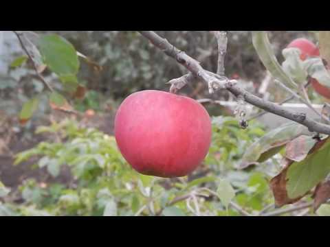 Питомник Елены Чеботарёвой !(Садовод-56) Гордеевское яблоня