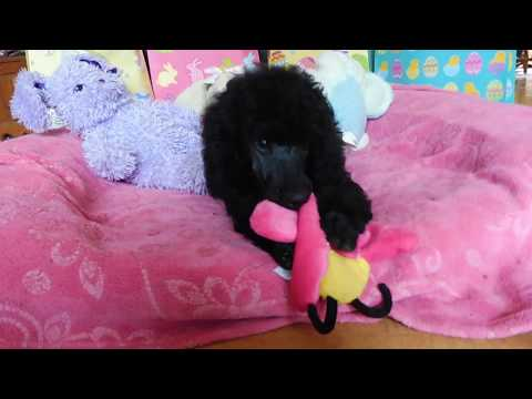 Black standard poodle puppy ready for Easter