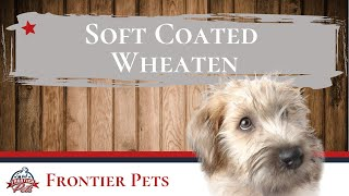 Soft Coated Wheaten Terrier Breed Facts