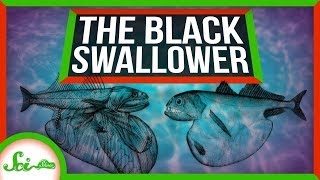 Meet The Black Swallower: Nature's Top Competitive Eater